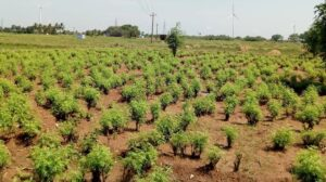 Curry leaves plantation in India